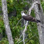 Young Osprey. Mom & dad have left but they are stiil here for a bit longer now fending for thems