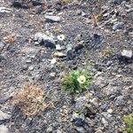 Svalbard Poppy