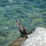 Cormorant at Tinos harbour