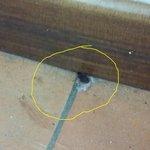 scarafaggio VIVO vicino al latto