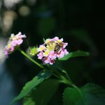 Hotel grounds - blackberry and bee