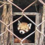 Red punda at zoo