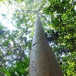 One of many tall Ceiba trees on the property