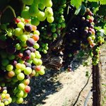 Veraison of Tempranillo grapes