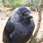 A very friendly Jack Daw.