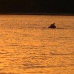 dolfijn in de delta