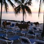 Cows on the beach enjoying sunset