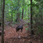 Peccary on the Saino Trail
