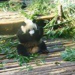 eating bamboo - how unusual!