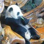Laid back panda!