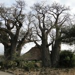 The dining room, between two thousand year old baobabs