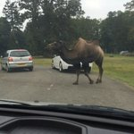 Camel crossing the road