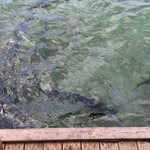Giant Tarpon off the dock