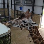 Giraffes inside inches from you on the raised viewing platform