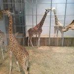 girafle