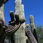 The Saguaro cactus around the Inn are stately