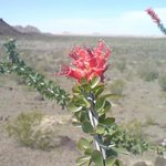 ocotillo Flower ..more flora