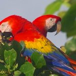 Scarlet Macaw in the trees