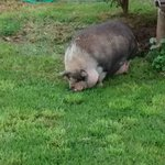 A large, amusing pot-bellied pig