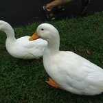 Daisy and Donald - very friendly ducks on premises