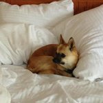 Most comfortable beds...  Miss Frida Fox is a happy hotel dog