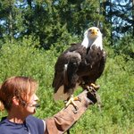 Bald Eagle at the Raptor's show