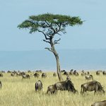 Lone Tree and Wildebeest