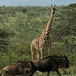 Giraffe and Wildebeest