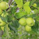 Apples in the resort ..