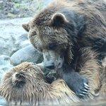 Grizzly Bear Brawl.