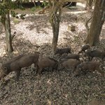 Family of wild boar