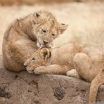 Lion cubs in Ngorongoro Crater