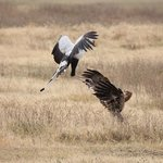Secretary bird vs tawny eagle in Ngorongoro Crater