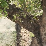 Leopard in Ngorongoro Crater