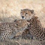 Cheetah brothers in Serengeti National Park