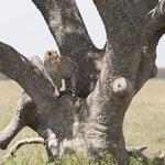 Leopard in Serengeti National Park