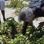 Boutari vineyard