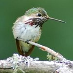 Hummingbird at Ramsey Canyon Inn