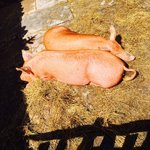 Pigs from Palmer's Farm just outside Stratford