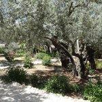 здесь растут 8 очень древних олив, которые растут здесь с 1-ого века нашей эры