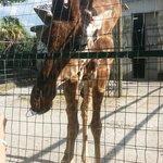 Giraffa affamata