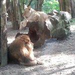Il re della foresta: il leone e la leonessa