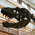 A big dinosaur skeleton is a must for old-school museums and this Gorgosaurus fits the bill.