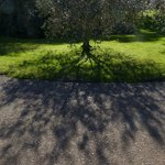 Olive tree by the parking pad
