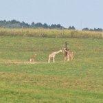 a couple baby giraffes!