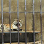 Caged tiger - 2011