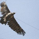 Bird of prey in flight - 2014