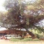 Reception. Но главное - дерево, а это всего лишь акация, но такая огромная!  Даже для саванны...