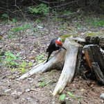 There were pileated woodpeckers everywhere!