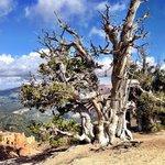 Cedar Breaks tree